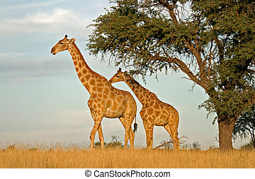 Giraffes - Two giraffes (Giraffa camelopardalis) under a...