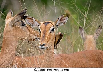 Impala portrait - Portrait of a female impala (Aepyceros...