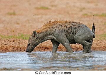 Spotted Hyena - Spotted hyena (Crocuta crocuta) in water,...