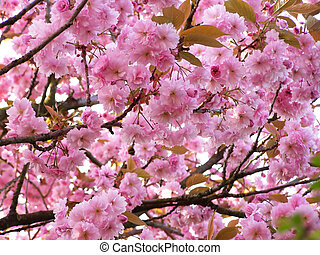 cherry tree - background of pink cherry blossom on a...