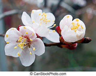 blossoming apricot - Flowers of blossoming apricot - tree...