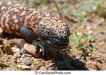 Gila Monster - The endangered Gila monster is the only...