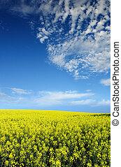 Canola Field - Bright Canola Field