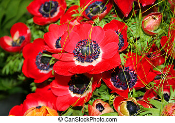 Beautiful red poppy fowers - Beautiful blooming red poppy...