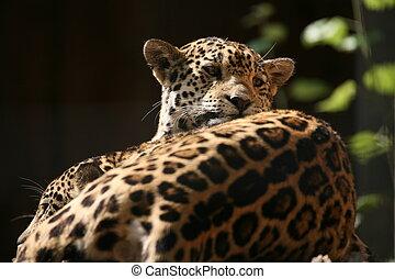 Jaguar - Beautiful Jaguar in a German zoo