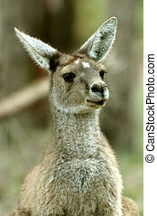 Kangaroo Portrait - A closed up standing kangaroo with...