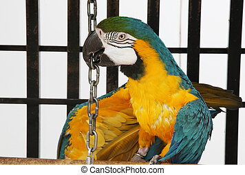 Tricky Macaw - A slightly scruffy, blue yellow macaw...