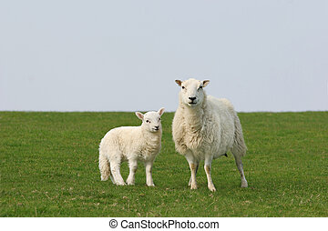 The Essence of Spring - Female sheep and lamb standing...