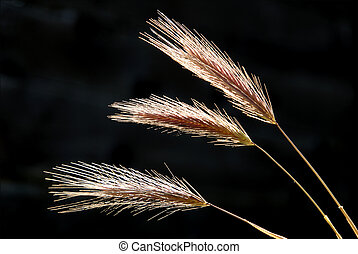 Wild Oats in Springtime Against Dark Background