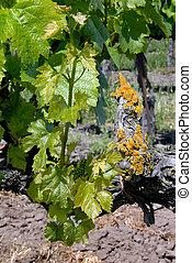Grape Vines and Lichen