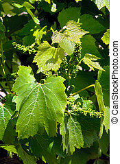 Grape Vines and Leaves