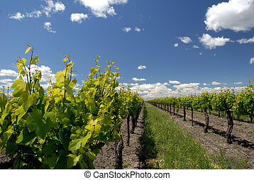 Grape Vines and White Clouds