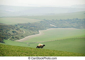 lamb and ewe - On the South Downs Way, East Sussex, UK