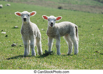 lambs - Springtime in England