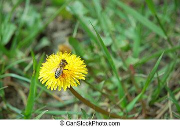 taraxacum,  oficinale, y, abeja