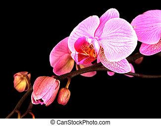 Orchid stem on black - studio shot of a stem of pink orchids...