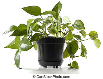 plant in pot - plant in black pot isolated