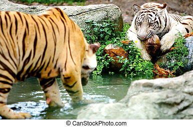 Two Tigers. Some grain visible due to low light condition.