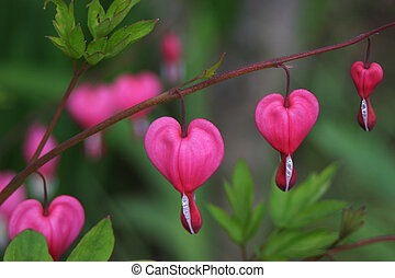 Bleeding heart flower - Dicentra spectabilis also known as...