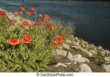 flowers on a hillside - bright red flowers planted on a...