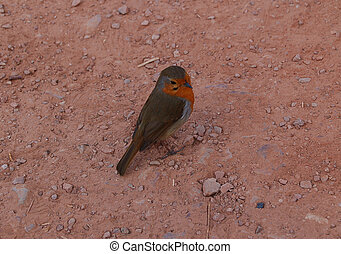 cheeky robin 1