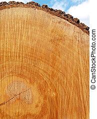 Red Oak Log End - freshly-sawn end of felled red oak tree...