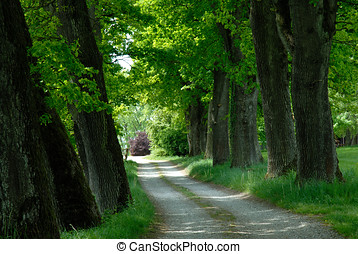 Green avenue with old trees on the spring