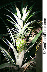 Growing Ananas Ananas comosus - Growing Ananas; Ananas...