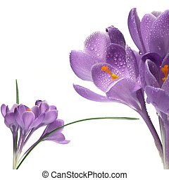 crocus isolated on white - crocus, spring purple flower...