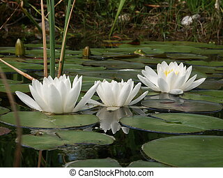 Water lilies - White water lilies