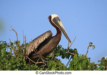 Pelican Perching on top of Loblolly tree in Antigua