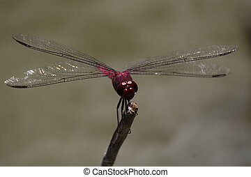 Purple Red Dragonfly at a pond in Antigua WI