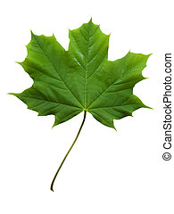 Maple Leaf - Photo of a maple leaf isolated on white