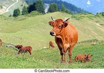 Cow in the prairie - Pasture in the mountain with a herd of...