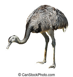 Isolated greater rhea leaning head towards the ground