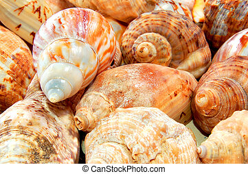 Sea shells - Sea-shells collection