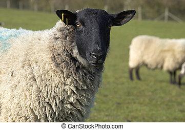 Ewe - A ewe in field in spring in the Uk