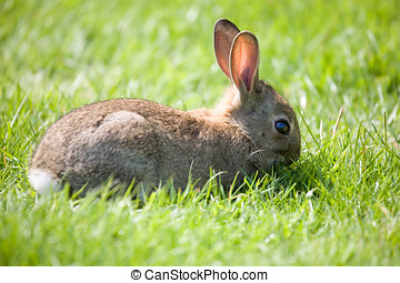 Little bunny grazing - Little bunny in the meadow grazing in...