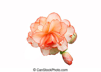 Begonia Isolated - Delicate begonia hybrid with bud, edged...