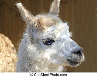 Llama - Funny llama with blue eyes in a park