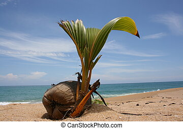 Coconut sprout - The plant is sprouting up at the...