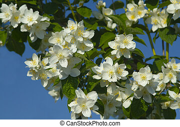 Blossom 01 - tree with white flowers, focus on centre