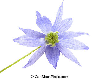 blue clematis - Close-up of fragile soft blue clematis...