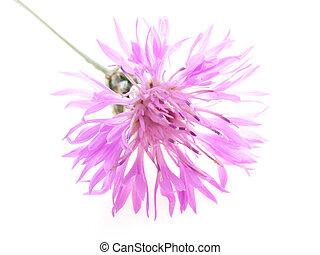 pink cornflower - Close-up of pink cornflower against white...