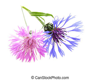 pink and blue cornflower