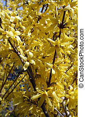 Blooming forsythia bushes in spring