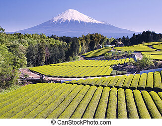 Green tea Fields IV - Rows of fresh green tea with Mount...