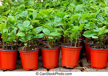 Potted Tea - Little pots of green tea plants waiting to be...