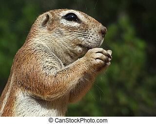 Ground squirrel - Close-up of a feeding ground squirrel...