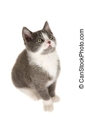 Small kitten - Cute grey kitten sitting on white background...